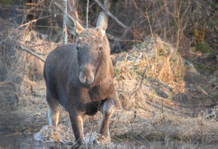 За первой травой: молодой лось спустился в Нижне-Свирском государственном заповеднике по склону к ручью за любимым лакомством